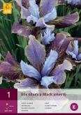 IRIS SIBIRICA BLACK JOKER ®
