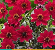 DALIA HAPPY DAYS CHERRY RED