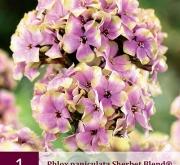 PHLOX PANICULATA SHERBET BLEND ®