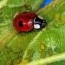 ADALIA GREEN 100 (100 larvas)
