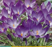 CROCUS RUBY GIANT