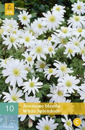 ANEMONA BLANDA WHITE SPLEDOUR