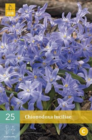 CHIONODOXA LUCILIAE (GIGANTEA)
