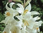 Liliums, Hyacintoides, Cyclamens y Eremurus