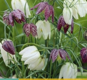 FRITILLARIA MELEAGRIS MIX