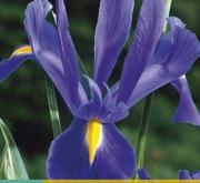 IRIS HOLANDICA BLUE [O]