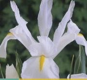 IRIS HOLANDICA WHITE [O]