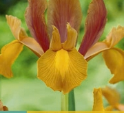 IRIS HOLANDICA AUTUMN PRINCESS [O]