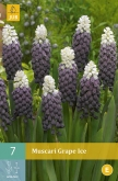 MUSCARI GRAPE ICE
