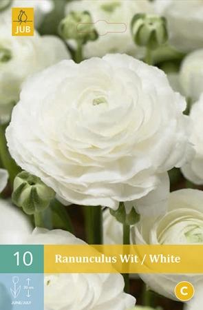 RANUNCULOS WHITE [O]
