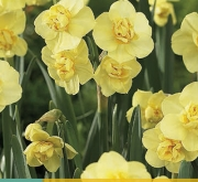 NARCISOS YELLOW CHEERFULNESS