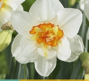 NARCISOS FLOWER DRIFT