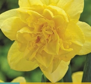 NARCISOS GOLDEN DUCAT