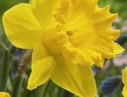 Narcisos Trompeta y de Flores Grandes