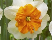 Narcisos Dobles y Papillon