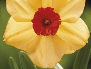 Narcisos Tazzeta y de Flor Pequeña