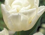 Tulipanes Dobles y Simples Tempranos