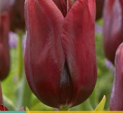 TULIPAN NATIONAL VELVET