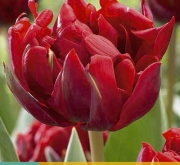TULIPAN RED PRINCESS