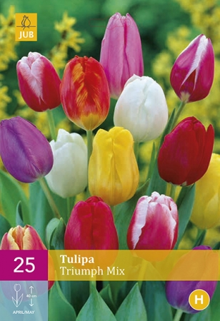 TULIPAN TRIUMPH XXL (25)