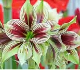 Amaryllis Butterfly