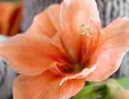 Amaryllis Salmón
