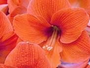 Hippeastrums Naranja
