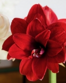 AMARYLLIS DOBLE DRAGON ® - Cal. 34/36 ó 32/34