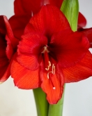 AMARYLLIS RED LION - Cal. 34/36