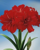 AMARYLLIS RED PEACOCK ® - Cal. 34/36