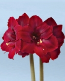 AMARYLLIS GRAND DIVA ® - Cal. 34/36