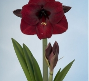 AMARYLLIS QUEEN OF THE NIGHT ® - Cal. 34/36