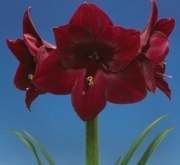AMARYLLIS RED PEARL ® - Cal. 30/32