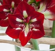 AMARYLLIS BARBADOS ® - Cal. 34/36