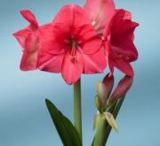 AMARYLLIS PINK RIVAL ® - Cal. 34/36