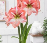 AMARYLLIS WINTER DELIGHT ® - Cal. 34/36