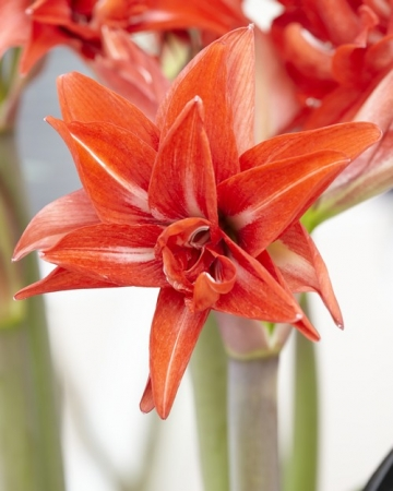 AMARYLLIS DOBLE DELICIOUS ® - Cal. 34/36