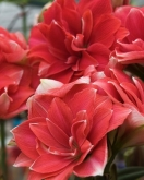 AMARYLLIS DOBLE DREAM ® - Cal. 34/36 ó 26/28