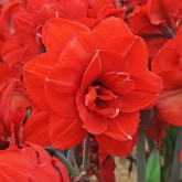 AMARYLLIS DOBLE KING ® - Cal. 34/36 ó 28/30
