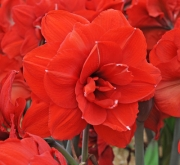 AMARYLLIS DOBLE KING ® - Cal. 24/26