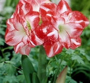 AMARYLLIS FLAMING PEACOCK ® - Cal. 34/36