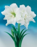 AMARYLLIS ICE QUEEN ® - Cal. 34/36