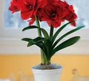 AMARYLLIS RED NYMPH ® - Cal. 34/36