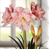 AMARYLLIS STRIPED AMADEUS - Cal. 34/36