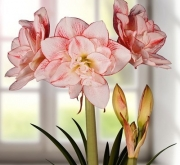 AMARYLLIS STRIPED AMADEUS - Cal. 36/38
