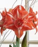 AMARYLLIS SUNSHINE NYMPH ® - Cal. 34/36