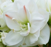 AMARYLLIS WHITE AMADEUS - Cal. 34/36
