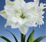 AMARYLLIS WHITE NYMPH ® - Cal. 34/36