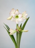 AMARYLLIS PICASSO ® - Cal. 26/28