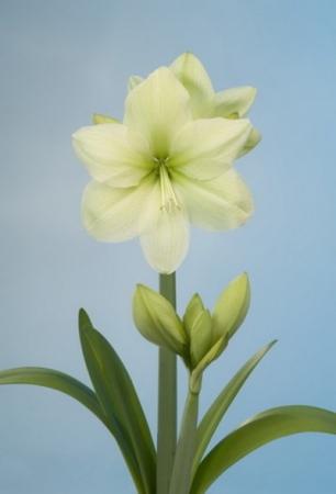 AMARYLLIS FANTASY ® - Cal. 28/30